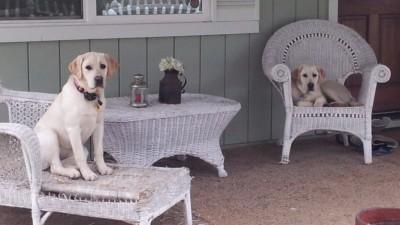 Labrador Puppies California